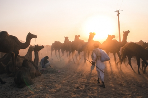 20131112-Camels-sunset-Pushkar