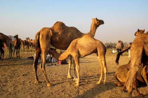 Camels-milk-Pushkar-fair-Rajasthan