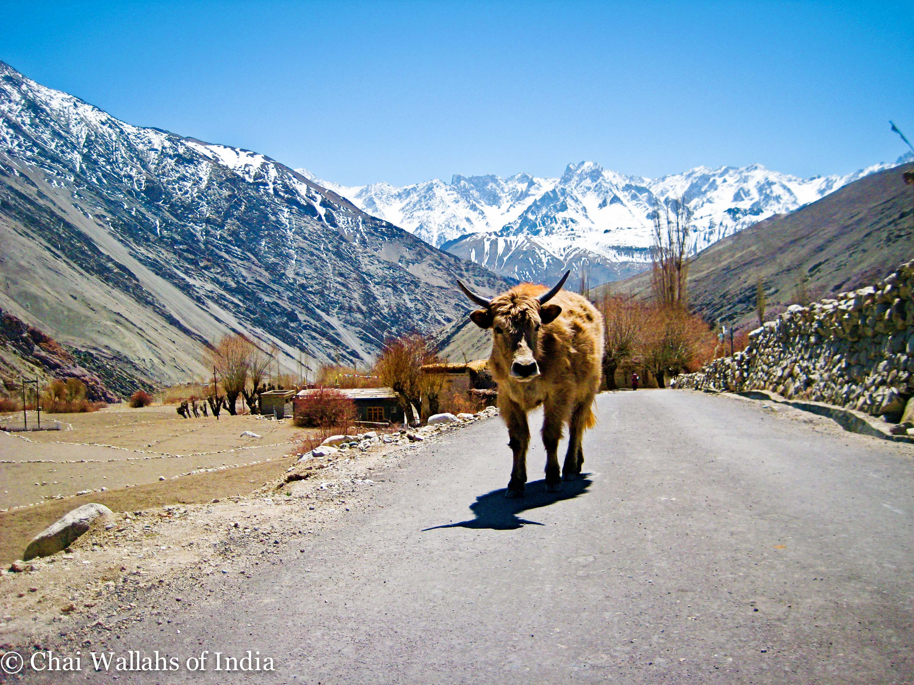 A yak walks down a road in front of Himalayan mountain peaks in Ladakh, India.