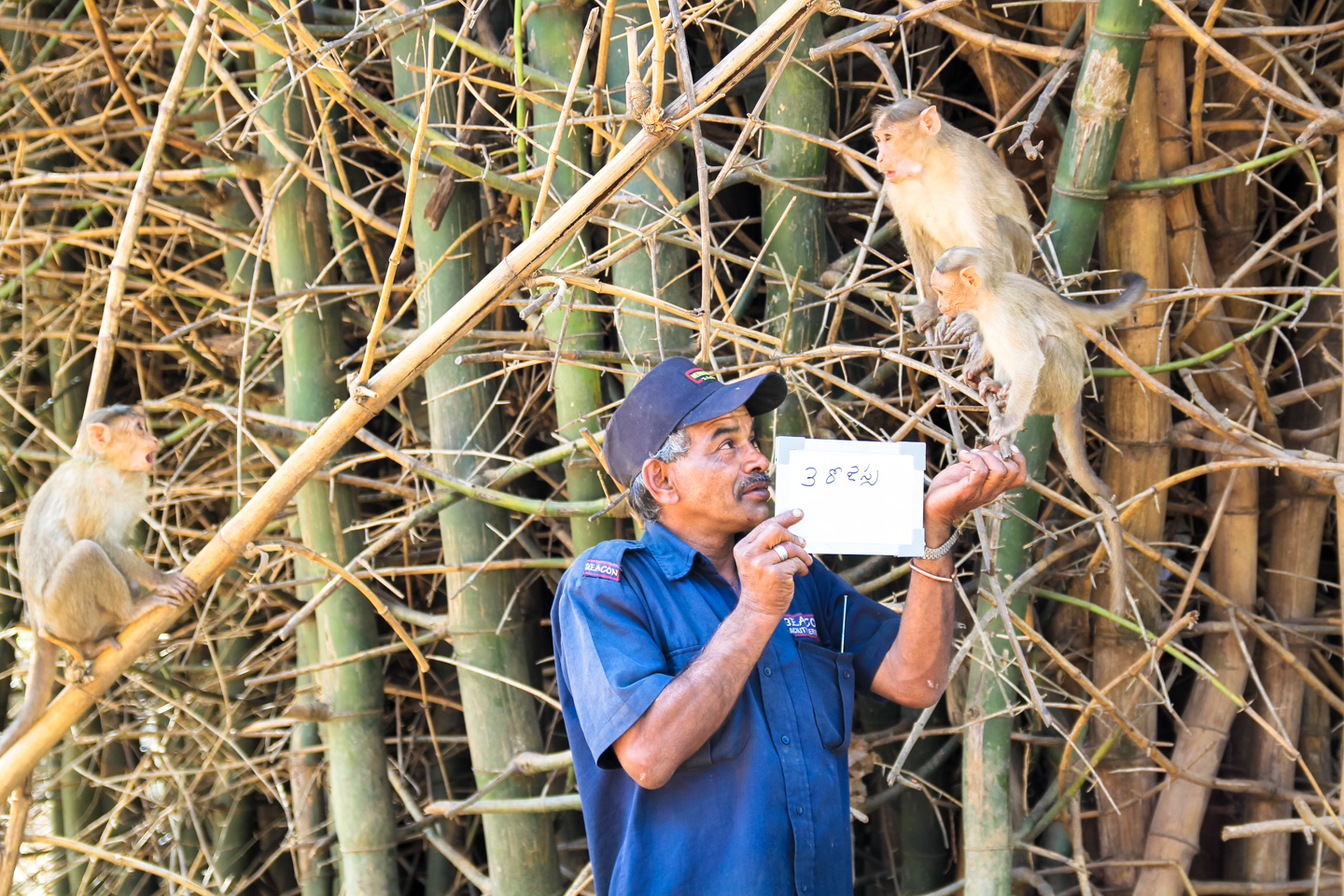 Shiv Shankar feeds monkeys at Lalbagh Botanical Gardens in Bangalore. Every day he gives them peanuts and water at their home in a bamboo grove near the Rose Garden. Then he drinks his favorite brand of tea: 3 Roses.