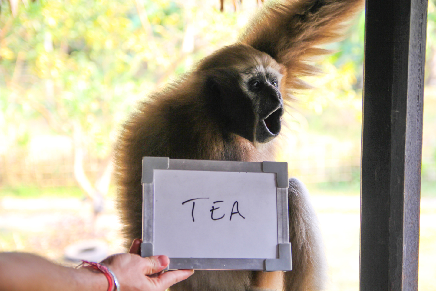 It is no surprise that Kalia, a semi-domesticated gibbon who lives with a Singpho family in Assam, thinks of tea when she hears the word 'chai.' After all, the Singpho tribe had been growing and consuming tea long before the British began cultivating it on large scale plantations in India in the early 1900s.